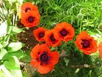 Landscaped with easy to care for perennials including these lovely poppies